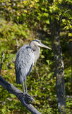 Blue Heron on a Branch Royalty Free Stock Photos