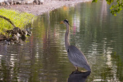 Blue Heron calmly walking along the banks of a pond on a windy day. Stock Images