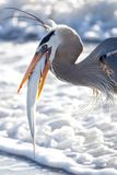 Blue Heron with the Catch of the Day Stock Photography