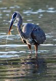 Blue Heron Catches Fish, Conception Bay, Baja California< Mexico Royalty Free Stock Photo