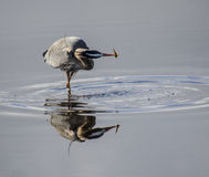 A blue heron catches a fish Royalty Free Stock Photo