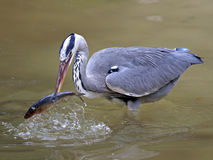 Blue heron Royalty Free Stock Photo