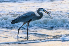 Blue Heron catching Fish Stock Photography