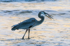 Blue Heron catching Fish Stock Photo