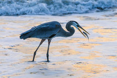 Blue Heron catching Fish Royalty Free Stock Photo