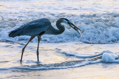Blue Heron catching Fish Stock Image