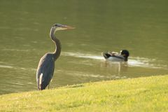 Blue Heron. A blue heron catching some sun,lol Royalty Free Stock Image