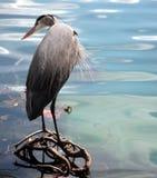 Blue Heron. Central Florida wildlife Refuge stock photography
