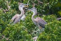 Blue Heron Chicks Royalty Free Stock Images