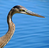 Blue Heron - Close-up Stock Photography