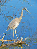 Blue Heron - Close-up Royalty Free Stock Images