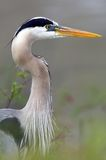 Blue Heron Closeup Profile Stock Photos