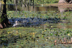 Blue Heron in Cypress Swamp Stock Photo