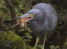 Blue Heron Devours Crayfish. A Blue Heron chows down on a crayfish he caught in shallow water at the Lettuce Lake Park run by Hillsborough County in Tampa Royalty Free Stock Images