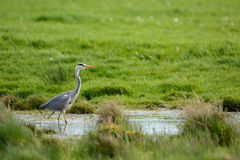 Blue heron in Ditch Royalty Free Stock Photos