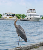 Blue Heron on a dock Stock Photos