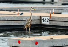 Blue Heron on a dock Stock Image