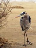 Blue heron on dune