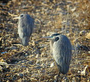 Blue Heron Duo Royalty Free Stock Photography