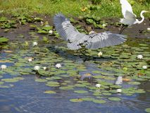 Blue Heron and Egret in Flight Stock Photo