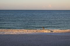 Blue Heron on a beach in Florida stock photo
