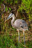 Blue heron in Everglades Stock Images