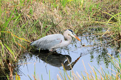 Blue Heron in the Everglades National Park. Stock Photography