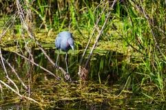 Blue heron Stock Image