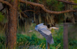 Blue heron in everglades prepares for nest Stock Photos