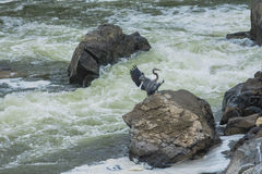 Blue Heron of the Falls Stock Image