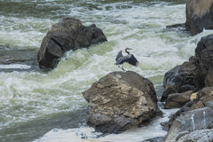 Blue Heron Of the Falls Stock Photography