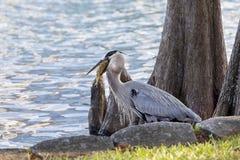 Blue Heron Feeding on Fish Stock Image
