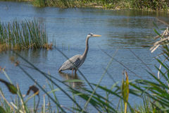 A Blue Heron Fishes in the Viera Wetlands Stock Photo