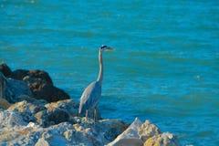 Blue Heron Fishing in Florida. Royalty Free Stock Photography