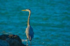 Blue Heron Fishing in Florida. Stock Image