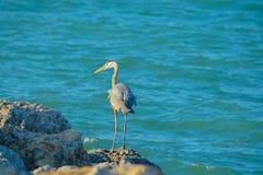 Blue Heron Fishing in Florida. Stock Photography