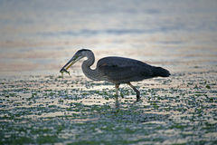 Blue Heron fishing Royalty Free Stock Photos
