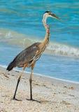 Blue Heron Fishing on Indian Rocks Beach, Florida. Stock Photo
