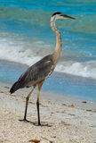 Blue Heron Fishing on Indian Rocks Beach, Florida. Royalty Free Stock Photos