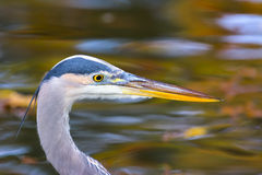 Blue Heron Fishing in a Pond Stock Photo