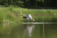 Blue Heron Fishing Stock Images
