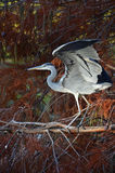 Blue heron flapping wings Royalty Free Stock Photo