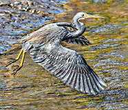 Blue heron flies low over the north Florida swamp. The north Florida island offers a plethora of open space greenways with dense swamp and open fields with stock photo