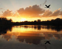 Blue Heron Flies Over River as the Sun Sets Royalty Free Stock Image