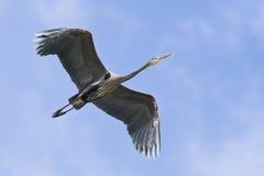 Blue Heron In Flight Stock Photo
