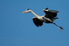 Blue heron in flight Royalty Free Stock Photos