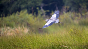 Blue Heron in flight Stock Images