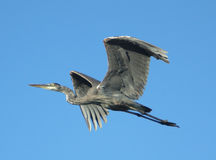 Blue Heron In Flight Against A Blue Background Stock Image