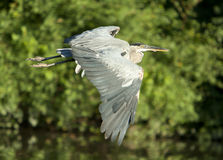 Blue Heron In Flight Stock Photos