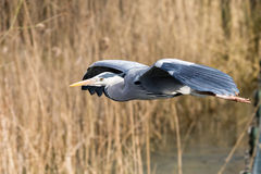 Blue Heron. Blue Heron in flight in front of reed Royalty Free Stock Image